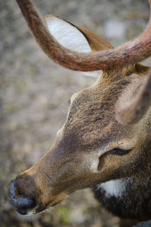 close up face of The chital (Axis axis) or spotted deer. Zdjęcie Seryjne