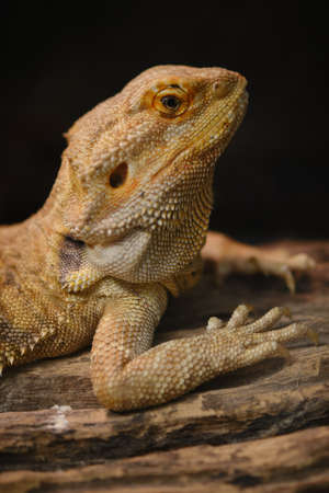 Close up of Bearded dragon (Pogona Vitticeps). Zdjęcie Seryjne
