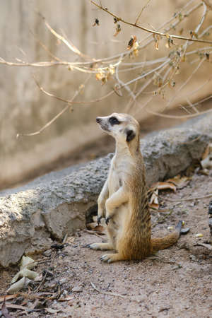 The meerkat or suricate (Suricata suricatta) sitting and looking for predator. Zdjęcie Seryjne