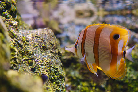 Copperband Butterflyfish (Chelmon rostratus) or Beaked coral fish swim underwater near coral reef. Zdjęcie Seryjne