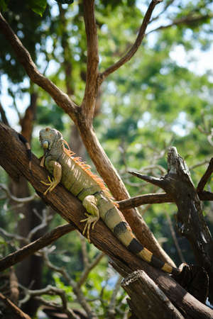 Green iguana or American iguana a large lizard on tree branch.