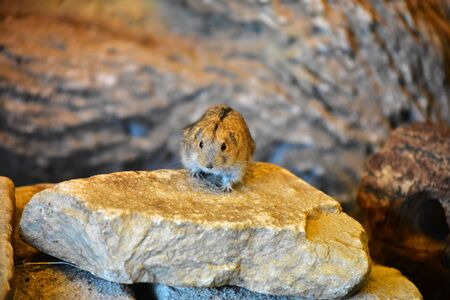A little rodent on the stone at the Bremerhaven zoo Stok Fotoğraf