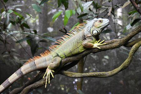 The iguana stands still on the tree 免版税图像
