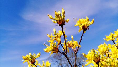 Forsythia flowers blossomed in May - photo of buds under blue sky. Spring seasonal background - Golden bell blooming in spring garden bush, sun light.