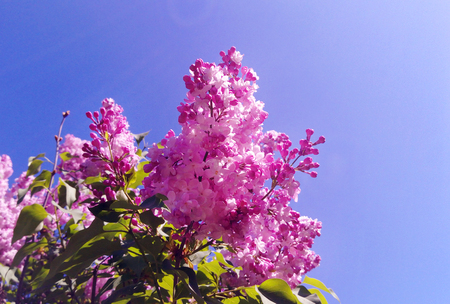 Purple Lilac (Syringa vulgaris) flowers Blossoms under blue sky in the botanical garden. Seasonal spring, summer background for wallpaper.