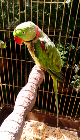 Alexandrine parakeet - Big ringed or Alexandrian parrot sits in a cage locked up. Captivity Bird with necklace, bright green, herbal color on the wings and powerful red beak.