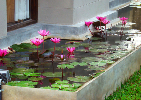 Landscaping design, beautification refine and planting of a yard plot near house - lotus flowers buds grow and blooming in Decorative pond. 版權商用圖片