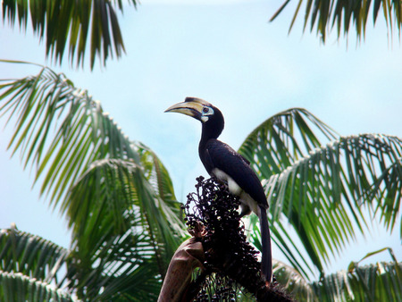 Oriental Rhinoceros Pied Hornbill (Anthracoceros albirostris) rare beautiful red book bird sits on a branch surrounded by palm trees on blue sky background - selective focus paradise summer photo. 版權商用圖片
