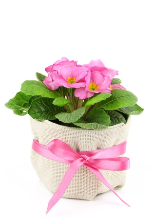 primula: Beautiful pink primula in flowerpot isolated