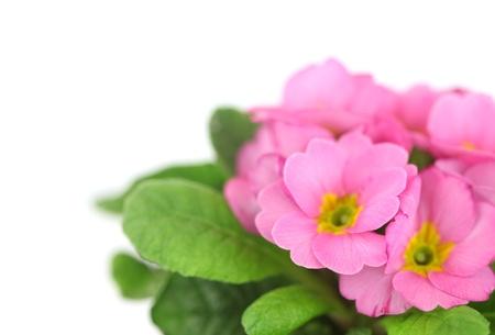 primrose: Beautiful pink primula in flowerpot isolated