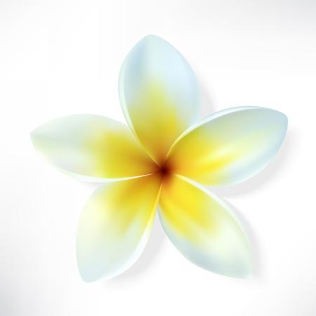 srilanka: Frangipani. Vector flower isolated on white. Illustration