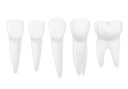 Types of tooth realistic. Various human tooth with roots, molars, premolars and canines. Vector image.