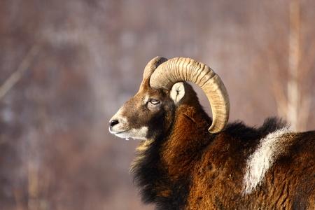 this is a big powrfull mouflon male