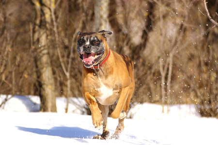 playful dog running in big snow photo