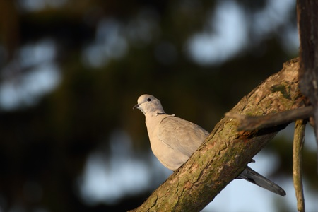 turtledove standing on a branch illuminated by the warm light of sunset Stock Photo - 12870408