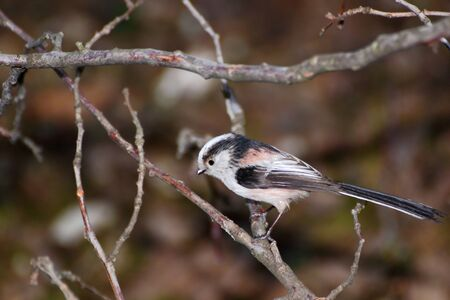 aegithalos caudatus-long tailed tit standing on a branch Stock Photo - 12870411