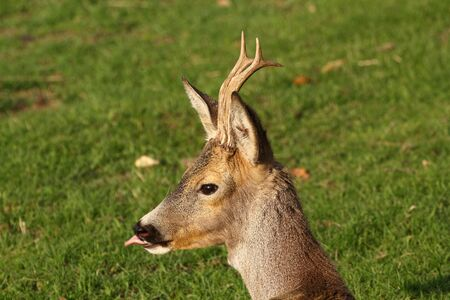 young roe deer buck with growing trophy Stock Photo - 13546214