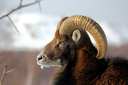 big mouflon male wearing its winter fur