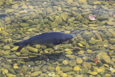 carp in the clear water of an artificial lake