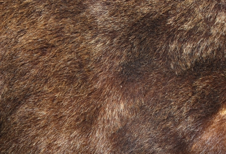 fur: texture of brown bear fur hunted in Rondei mountains, the Carpathians, Romania Stock Photo
