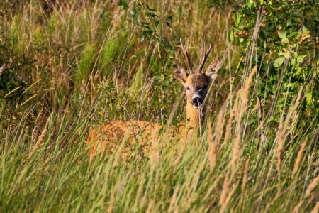 roebuck: beautiful wild roe deer buck in the big grass
