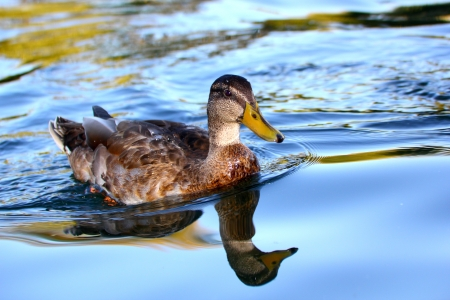 young duck (anas platyrhynchos) swimming in the clear water photo