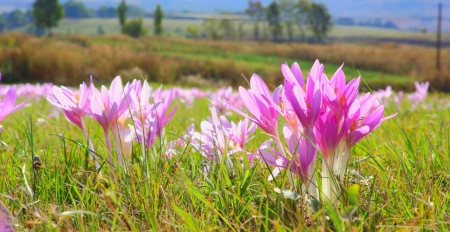 colchicum autumnale: detail of an autumn crocus  colchicum autumnale  in the field Stock Photo