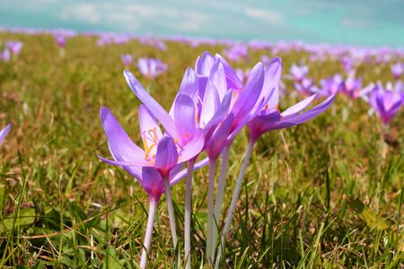 colchicum autumnale: detail of wild mountain flowers  colchicum autumnale  in the field