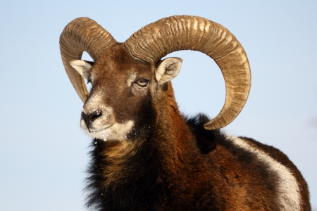this is a big mouflon ram, the alpha male of the herd photo
