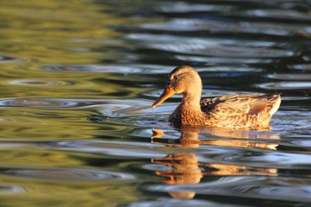 bird web footed: mallard duck swimming in the warm light of dawn