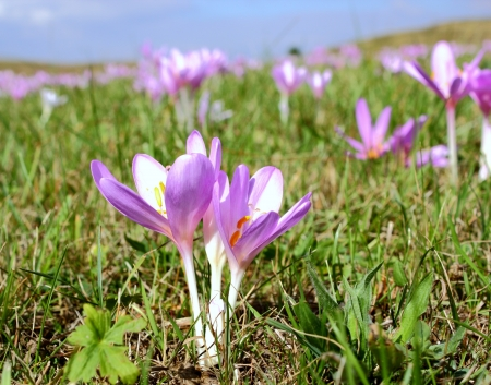 purple wild flowers (colchicum autumnale) in a mountain meadow photo