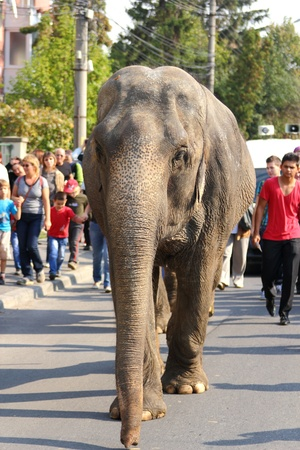 full length herbivore: CLUJ-NAPOCA, ROMANIA - OCTOBER 07, 2012 : Elephant walks in front of te curious crowd on an urban street, at the Elephant parade organized by Gartner Circus on October 07,2012 in Cluj-Napoca,RO