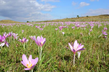 colchicum autumnale: meadow covered with autumn crocus  colchicum autumnale  Stock Photo