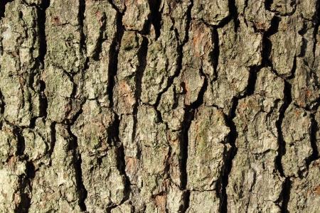 quercus: oak ( quercus robur ) bark texture ( horizontal )