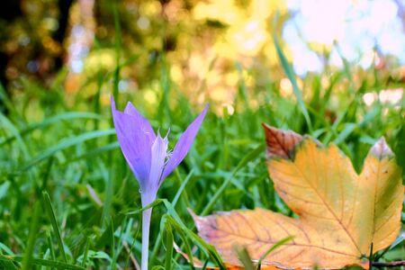 colchicum autumnale: blue seasonal flower   colchicum autumnale   in the grass