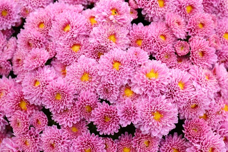lindi: detail of bouquet of pink chrysanthemum Stock Photo