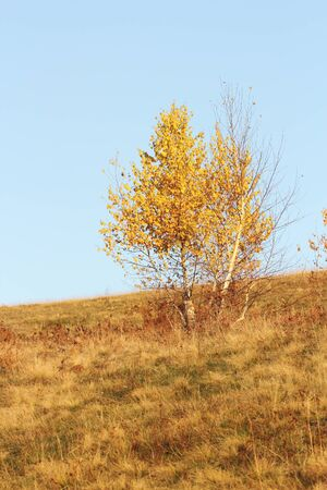 birch tree   betula   in autumn with its foliage faded photo