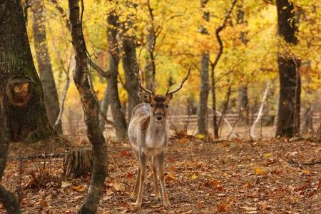 deer hunting: fallow deer buck   dama dama   at an animal park
