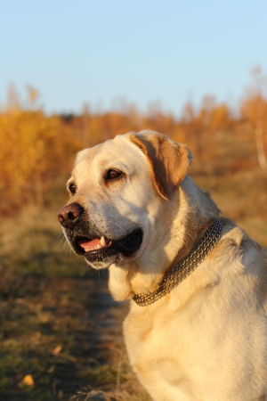 beautiful dog   labrador retriever   standing in the warm light of sunset photo