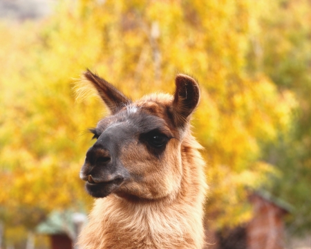 spitting: cute portrait of brown spitting llama over autumn forest background Stock Photo