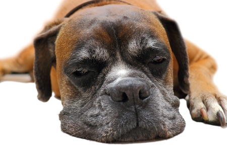 cute face of sleeping dog ( boxer breed ) photo