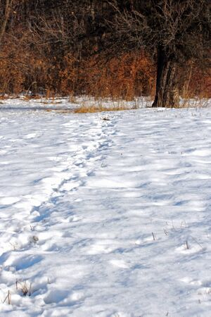 wild boar ( sus scrofa ) tracks going towards the forest photo