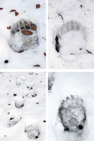 collection of brown bear ( ursus arctos ) tracks in snow 스톡 콘텐츠