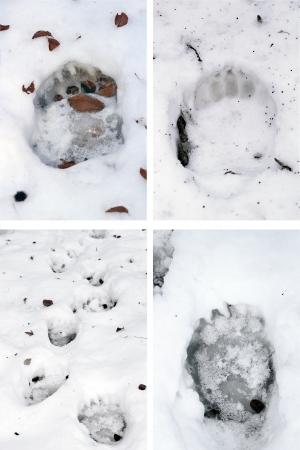 collection of brown bear ( ursus arctos ) tracks in snow Standard-Bild