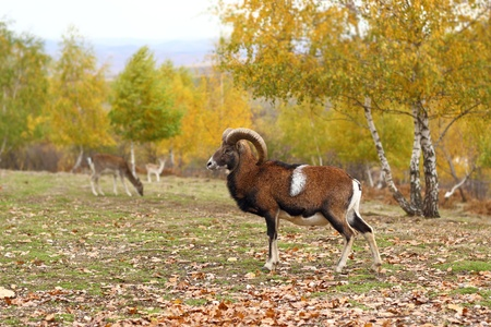 mouflon male standing in a glade in fall season - beautiful autumn forest background