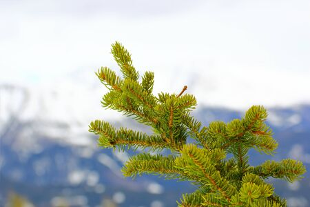 picea: detail of a fir branch in an overcast  winter day