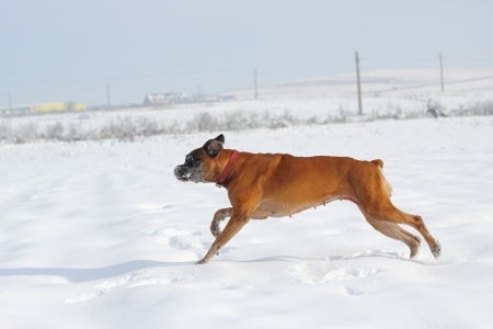 senior female boxer breed running in big snow photo