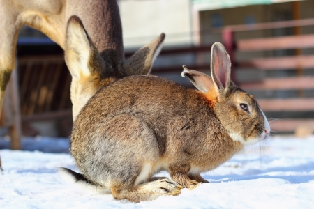 mitigated: brown rabbit standing on snow at an animal park