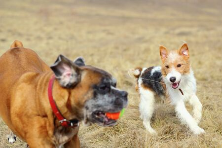 dogs   fox terrier and boxer   playing in the field with a colorful ball photo