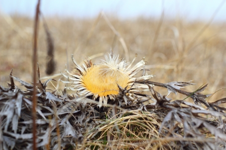 endangered species - very rare plant - Stemless carline Thistle flower   Carlina acaulis   photo